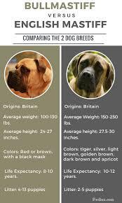 belgian shepherd x mastiff difference between bullmastiff and english mastiff infographic