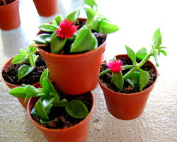 red apple u0027 baby sun rose aptenia ice plant rare hybrid