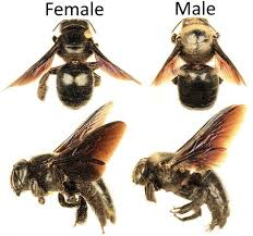 How To Get Rid Of Backyard Flies by How To Get Rid Of Carpenter Bees Inside And Outside Of Your House