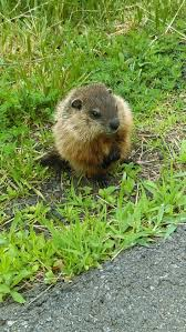 best 25 baby groundhog ideas on pinterest happy groundhog day