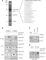 Anti Flag Antibody Telomerase Activates Transcription Of Cyclin D1 Gene Through An