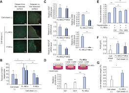 use of mouse liver mesothelial cells to prevent postoperative