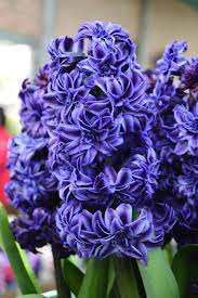 hyacinth flower hyacinth royal navy flower bulbs dutchgrown