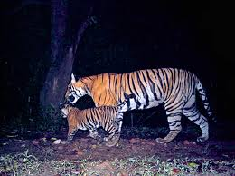 Home Interior Tiger Picture by Best Camera Trap Pictures Of 2014 Biology Sci News Com