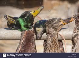 mallard duck anas platyrhynchos dead males and female