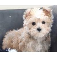 belgian malinois in ohio local dogs u0026 puppies in ohio