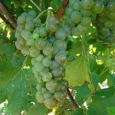 buy vignoles grape vines for sale double a vineyards
