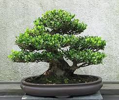 bonsai the of growing miniature trees