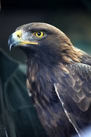 17 types of eagles with pictures names and fact of eagles