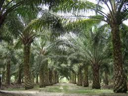 Minyak Kelapa Sawit Terkini file oilpalm malaysia jpg wikimedia commons