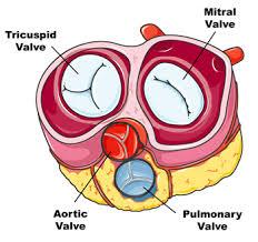 Anatomy Of Heart Valve Heart Valves Anatomy Defects Disease U0026 Problems