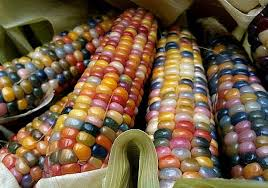 glass gem corn gorgeous 25 seeds heirloom original