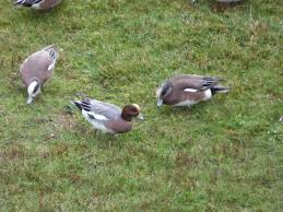 what day is thanksgiving each year illahee 11 21 16 photos wildlife in the road owl wigeon return