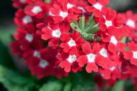 verbena flower verbena verbena