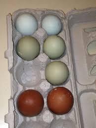 dark egg breeds thread page 173 backyard chickens