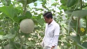 melon netting growing vertical growing squash melons and