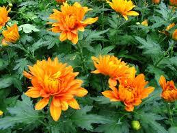 61 best chrysanthemum images on pinterest chrysanthemums
