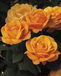 Gold Rose Good As Gold Hybrid Tea Rose