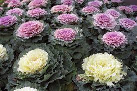 time to plant tis the season for bulbs and shrubs tulalip news