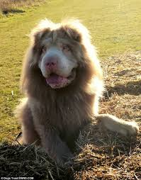 lion dogs dog that looks more like a lion is stealing the show at dogs trust