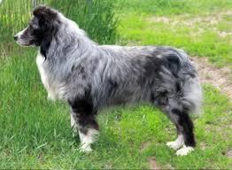 australian shepherd grey australian shepherd ruff stock grey badger id 16565