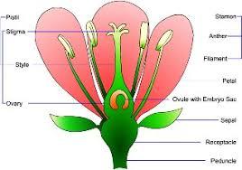 parts of a plant diagram tutorvista com