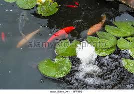 ornamental fish stock photos ornamental fish