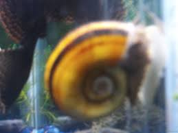 types of aquarium snails with answers and forum