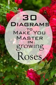 30 diagrams to make you master in growing roses balcony garden web