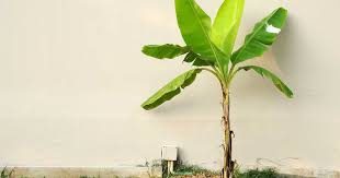 banana plant how to grow and care for banana trees