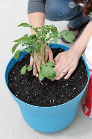 Container Gardening Potatoes - how to grow potatoes in a container one good thing by jillee