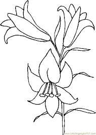 awesome lily coloring pages images free printable