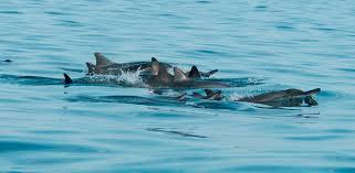 murdoch university cetacean research unit new publication