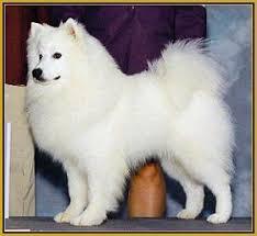 american eskimo dog dallas american eskimo breeders usa