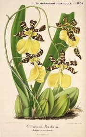 oncidium orchid 8 dangers to avoid with oncidium orchids