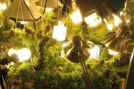 shop light for growing plants marijuana grow lights ganja farmers correct lighting increased