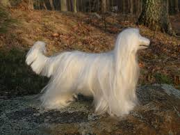 afghan hound weight 15 gracious white afghan hound pictures and photos