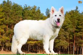 belgian shepherd exercise requirements white swiss shepherd dog breed information buying advice photos
