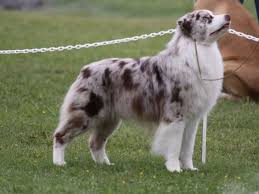 australian shepherd outline 55 adorable australian shepherd dog images and pictures