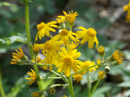 kentucky native plant society ragwort wildflower pennsylvania native plants pinterest