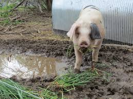 michigan cider maker using pigs to combat apple pests wmuk