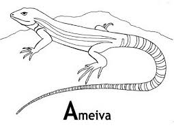 ameiva lizard coloring page and facts 85886 coloring pages for