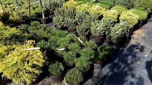 bushes ornamental ornamental plants sale wholesale kiev