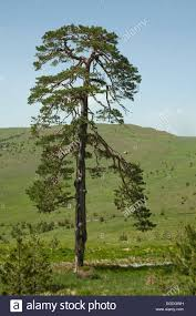 lone pine tree among the small pine trees stock photo royalty