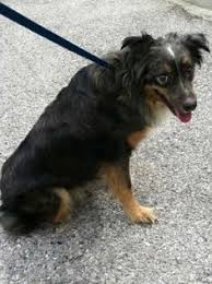 5 year old australian shepherd rupert is a 5 year old golden red merle aussie this guy is