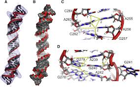 structure of the 30 nbsp kda hiv 1 rna dimerization signal by a