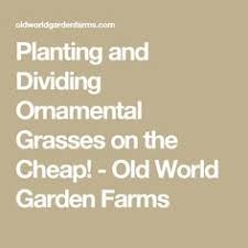 planting and dividing ornamental grasses on the cheap grasses