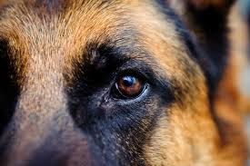 What Can Cause Temporary Blindness Blindness In Dogs Symptoms And Signs