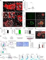 Scf Campus Map Dna Damage Signaling Instructs Polyploid Macrophage Fate In