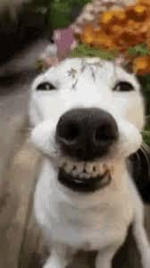 Dog Smiling Meme - smiling dog gifs tenor